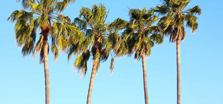 The Importance Of Palm Tree Pruning